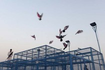 Where dreams take flight: Pakistan's pigeon racers
